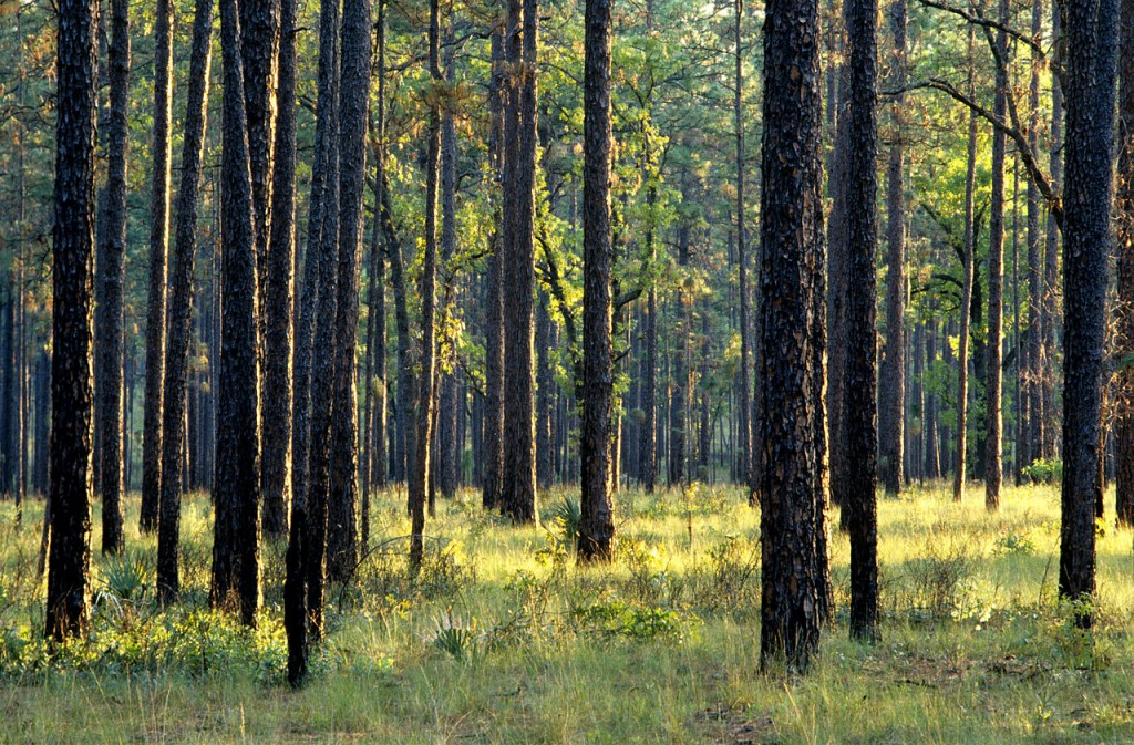 The Forest is full of thousands of Southern pines.