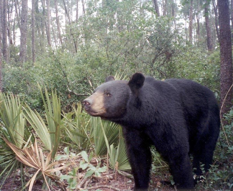 The bear triggered a hidden camera; no sane human would try to get this close