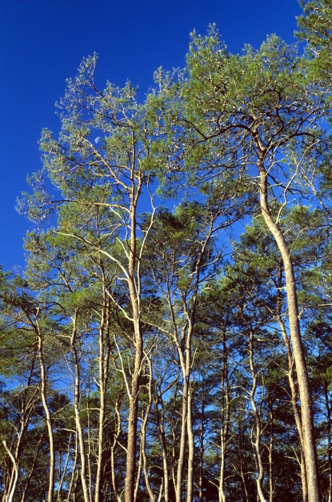 Pinus_clausa_USDAFS pub domain