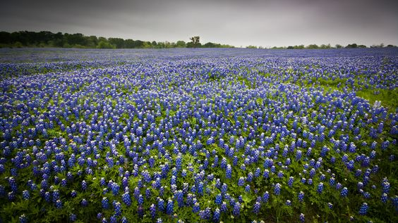 Texas bluebonnets (photo by Jeffrey Pang, CC BY 2.0 Wikimedia Commons)