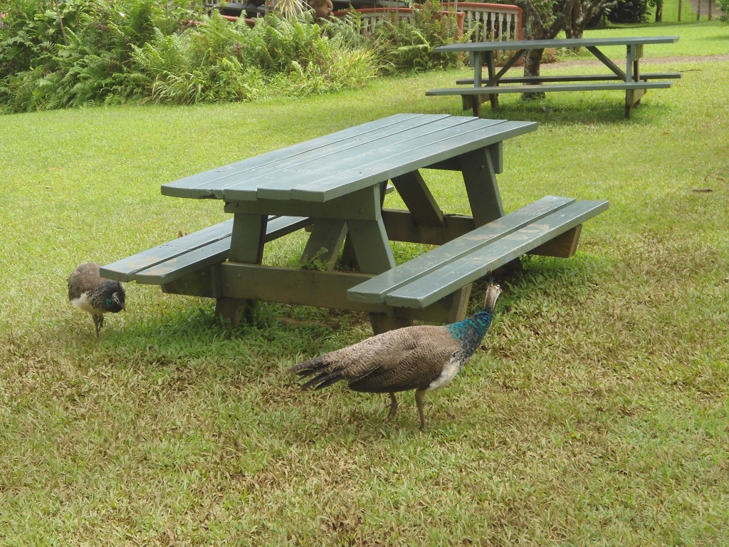 peahens at the Garden of Eden Tropical Garden on the Road to Hana