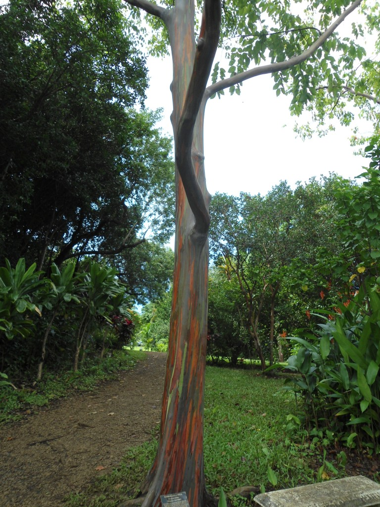 a rainbow eucalyptus tree